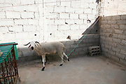 Marrakech, Maroc. 20 Decembre 2007..Aid El Kebir est une des fetes les plus importantes de l'Islam. ..Marrakesh, Morocco. December 20th 2007..Mustapha's sheep is attached on the terrasse untill the next day when it will be slited for Eid Al-Adha. Eid Al-Adha is one of the most important celebrations in the Islam traditions.