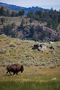 Bison, or American buffalo, takes a dust bath near the Yellowstone River, between Tower Junction and Lamar Valley, Yellowstone National Park, Wyoming. There's around 3,700 bison the park, of the Plains Bison subspecies. <br />