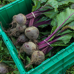 Just picked beets on a farm on Kinney Hill in South Hampton, New Hampshire.