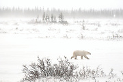 Polar Bear (Ursa maritimus) walking on tundra during snow storm on sub-arctic Hudson Bay <br />