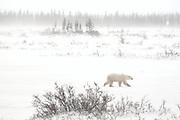 Polar Bear (Ursa maritimus) walking on tundra during snow storm on sub-arctic Hudson Bay <br />Churchill<br />Manitoba<br />Canada