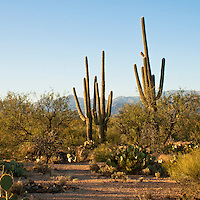 Saguaro National Park, Tucson. Giant saguaro cactus.