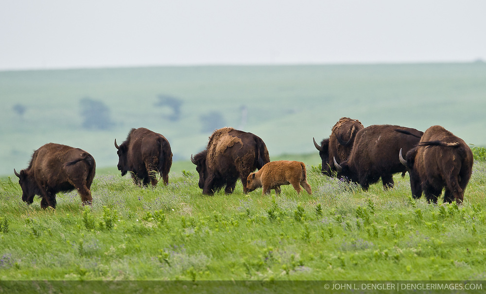 A recently born bison calf, the first born at the Tallgrass Prairie National Preserve since at least the mid-1800s when the property was fenced for cattle ranching, grazes with the rest of the bison herd. Newly born bison are lighter in color but as they grow older, their color changes to dark brown. The calf was born on Mother's Day, May 9, 2010. In October 2009, the Tallgrass Prairie National Preserve brought 13 genetically pure bison from Wind Cave National Park in South Dakota. The preserve plans to add more bison from Wind Cave with a final herd size between 75 and 100 bison. Tallgrass Prairie National Preserve is the only unit of the National Park Service dedicated to the preservation of the tallgrass prairie ecosystem. The Tallgrass Prairie National Preserve is co-managed with The Nature Conservancy. The 10,894-acre preserve is located in the Flint Hills of Kansas in Chase County near the towns of Strong City and Cottonwood Falls.