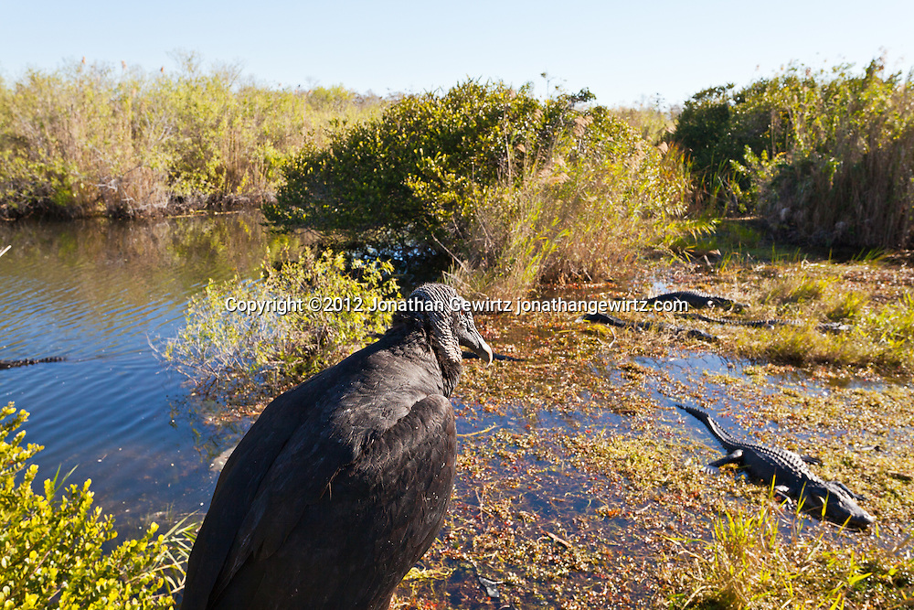 An American Black Vulture (Coragyps atratus) watches American alligators (Alligator mississippiensis) basking in the sun in the marshy part of a slough near the Anhinga Trail in Everglades National Park, Florida. WATERMARKS WILL NOT APPEAR ON PRINTS OR LICENSED IMAGES.