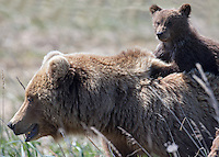 Mother Brown Bear and her Cub hitching a ride on her back.