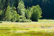 Feuchtwiese mit Blumen, Wald, Nationalpark bei Sankt Oswald, Bayerischer Wald, Bayern, Deutschland | marsh, flowers, national park near Sankt Oswald, Bavarian Forest, Bavaria, Germany