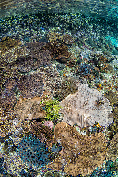 Leather coral (Sinularia sp) <br /> Raja Ampat<br /> West Papua<br /> Indonesia