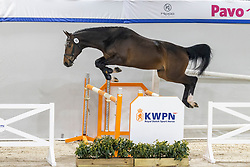 035, Nadal<br /> KWPN Hengstenkeuring 2021<br /> © Hippo Foto - Dirk Caremans<br />  02/02/2021