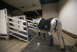 Glock's Cognac Champblanc being lead in the flying stalls by his grooom Ludivine Etore <br /> Departure of the horses to the World Cup Finals in Las Vegas from Schiphol - Amsterdam 2015.<br />  © Hippo Foto - Dirk Caremans