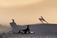 A young black Sloughi dog (Arabian greyhound) rests in the sand dunes in the Sahara desert of Morocco.