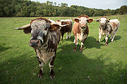 Your bullocks block the path into a field in British countryside in September near to Coughton, England, United Kingdom.
