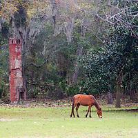 USA, Georgia, Cumberlande Island. Feral horse grazing the grounds of Dungeness Ruins.