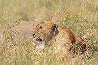 A female Lion, Panthera leo  melanochaita, in Maasai Mara National Reserve, Kenya