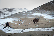 A shepherd rounding up yaks at night..At Burgut Yor (Eagle's Nest) camp (Apendi Boi's camp)...Trekking through the high altitude plateau of the Little Pamir mountains, where the Afghan Kyrgyz community live all year, on the borders of China, Tajikistan and Pakistan.
