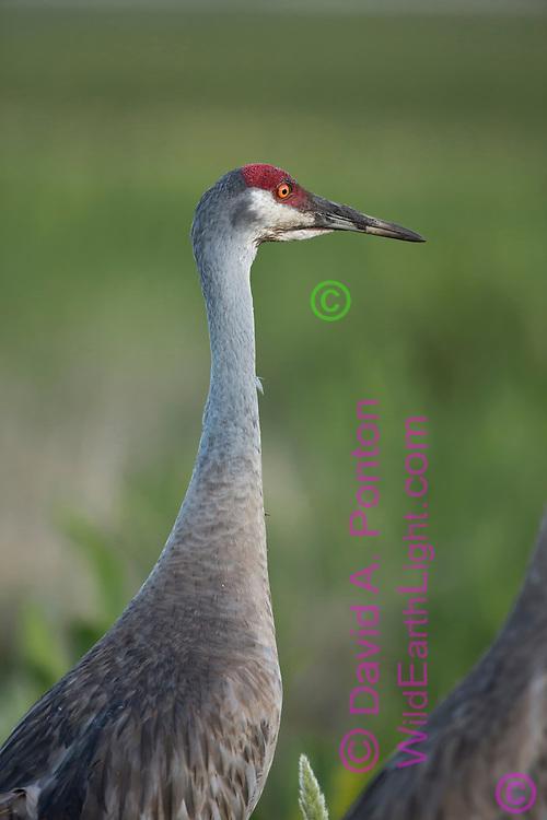 Sandhill crane portrait, showing mud still on beak from foraging in wet soil, © David A. Ponton