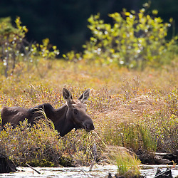 A young bull moose in a bog near the Connecticut River in Pittsburg, New Hampshire.