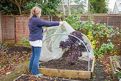 Covering kale with a net