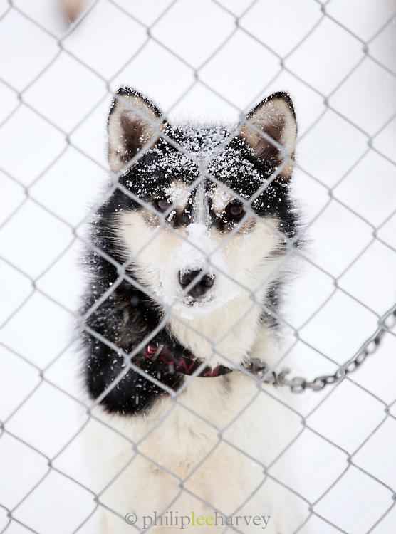 An Alaskan husky tied at its pen in Kirkeness, Finnmark region, northern Norway