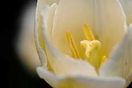 Tulipa Single Early Coquette tulip