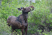 A young male moose (Alces alces) munches on a bush in Grand Tetons National Park, Wyoming