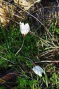 Crocus aleppicus is a species of flowering plant in the genus Crocus of the family Iridaceae, that is found from West Syria to Jordan. Photographed in Israel in December