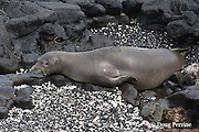 Hawaiian monk seal, Monachus schauinslandi( Critically Endangered, endemic species ), female  with mark on back where satellite transmitter has dislodged (will disappear with next molt) and reddish nictitating membrane partially covering eye, Keahole, Kona, Hawaii ( the Big Island )