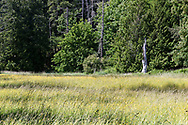 Tall grass and Buttercups in a field at Duck Creek Park on Salt Spring Island, British Columbia, Canada