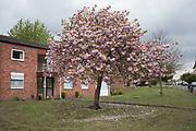Spring blossom in Moseley, Birmingham, England, United Kingdom.
