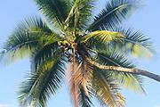 Coconut palm (Cocos nucifera) on th edge of the tropical rainforest on the Osa Peninsula. Drake Bay, Corcovado National Park, Golfito, Costa Rica. 28Nov13