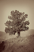 A western juniper tree (juniperus occidentalis), John Day Fossil Beds National Monument, Oregon. Please note: A filter has been applied to give this image the look of a vintage photo.