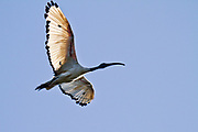 Sacred ibis (Threskiornis aethiopicus) in flight. The sacred ibis is a carnivorous bird that probes for small animals in wetlands, grassland and fields. It also eats offal or carrion and sometimes feeds in rubbish dumps. The sacred ibis is native to sub-Saharan Africa but colonies have been established elsewhere