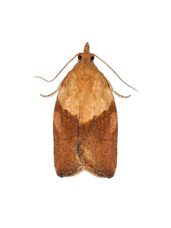 49.039 (0998)<br /> Light Brown Apple Moth - Epiphyas postvittana