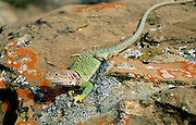 Collared Lizard (Crotaphytus collaris), Chaco Canyon, New Mexico