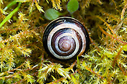 Snail shell on a bed of moss, Oxfordshire, United Kingdom UK