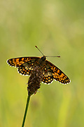 Heath Fritillary Butterfly, Melitea athalia, Thornden Woods, Kent, UK, RSPB Reserve, one of UKs rarest butterflies, brown, orange, wings open
