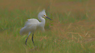An artsy application process applied to a snowy Egret portrait