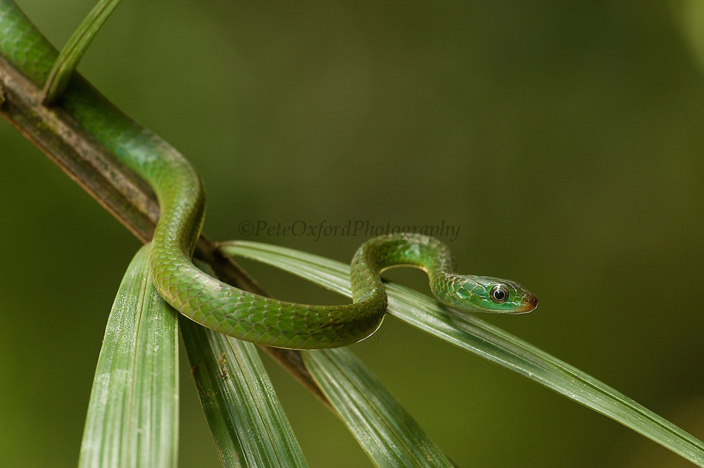 Rusty whipsnake or Fire snake (Chironius scurrulus) young<br /> Iwokrama Reserve<br /> Guyana<br /> South America
