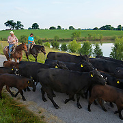 Kevin Thompson, left, moves cattle down road with Nolan Rinks at the Middle Tennessee Research and Eduction Center in Spring Hill. Nathan Lambrecht/Journal Communications