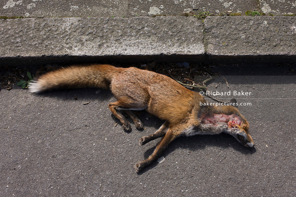 An urban fox lies dead in a south London road after being killed by a local vehicle.