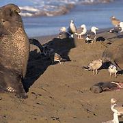 Northern Elephant Seal, (Mirounga angustirostris)  Male near still born baby seal. California.