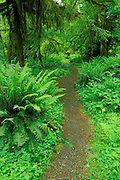 Trail through moss-covered Sitka spruce and sword ferns in the Quinault Rain Forest, Olympic National Park, Washington USA