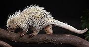 The Brazilian Porcupine (Coendou prehensilis) is a porcupine found in tropical forests in Brazil, Argentina, Venezuela, the Guyanas, and Bolivia. Captive. © Michael Durham / www.DurmPhoto.com