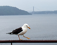 Lesser Black-backed Gull (Larus fuscus). Viewed from the deck of the MV Explorer. Leica X2 camera and 24 mm f/2 lens.