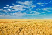 2 Row barley<br /> Myrtle<br /> Manitoba<br /> Canada