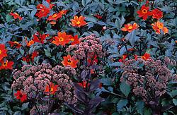 Dahlia 'Tally-ho' with Sedum telephium subsp. maximum 'Atropurpureum' at RHS Gardens, Wisley