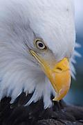 Bald Eagle, Haliaeetus leucocephalus, face dotted with snow crystals, Kenai Peninsula, Homer Spit, Homer, Alaska. Digital original, #2006_0387 ©Robin Brandt