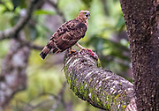 Wallace's Hawk-eagle (Nisaetus nanus) with prey in the canpoy of Sepilok rainforest, Sabah, Borneo.