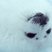 Harp Seal, (Pagophilus groenlandicus) Pup, called a white coat, resting on its back on ice pack. Spring. Nova Scotia. Canada.