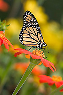Monarch Butterfly On Red Flower, Danaus plexippus