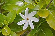 Tahiti tiare, Tahitian Gardenia<br />